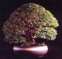 Syzigium cauliflora