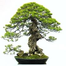 Acacia leocophelea