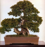 Japanese yew - 200 anos - 58cm
