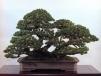 Japanese white pine - 100 anos - 64cm