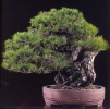 Japanese black pine - 180 anos - 65cm