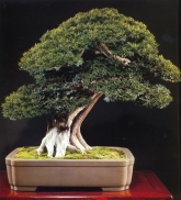 Japanese yew - 200 anos - 65cm