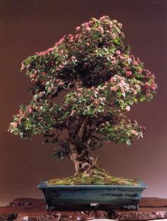 Japanese hawthorn - 80 anos - 98cm