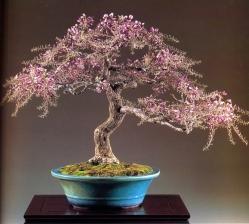 Japanese wisteria - 50 anos - 58cm