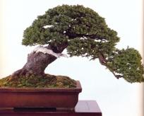 Yeso spruce - 800 anos - 54cm