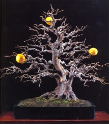 Chinese quince - 100 anos - 67cm