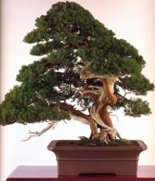 Sargent juniper - 300 anos - 75cm