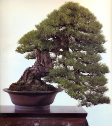 Japanese black pine - 250 anos - 80cm