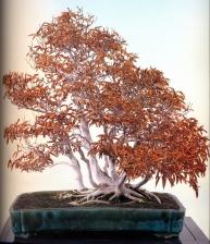 Siebold beech - 80 anos - 80cm