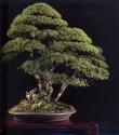 Japanese hemlock - 180 anos - 85cm
