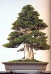 Needle Juniper - 550 anos - 88cm