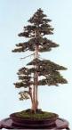 Needle juniper - 150 anos - 100cm