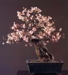 Japanese cherry - 80 anos - 87cm