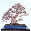 Iwashide (hornbeam) 350 anos - 65cm