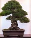 Japanese black pine - 150 anos - 65cm