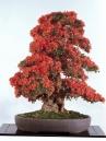 Kurume azalea - 50 anos - 75cm