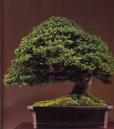 Yezo spruce - 700 anos - 70cm