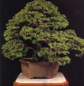 Japanese cypress - 100 anos - 89cm