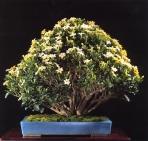 Daruma kushinashi - 35 anos - 55cm