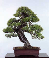 Japanese red pine - 170 anos - 85cm