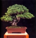 Japanese white pine - 500 anos - 73cm