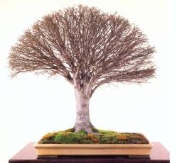 Japanese zelkova - 55 anos - 70cm
