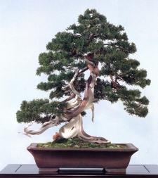 Sargent juniper - 250 anos - 60cm