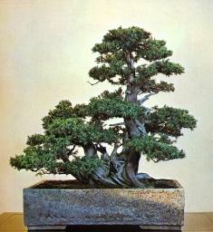 Needle juniper