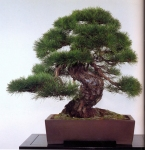 Japanese red pine - 300 anos - 73cm