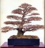 Japanese elm - 100 anos - 60cm