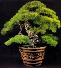 Kashima matsu - 360 anos - 135cm