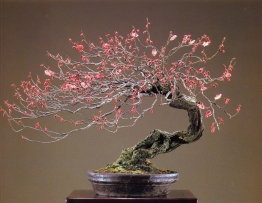 Japanese apricot - 70 anos - 58cm