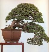 Japanese white pine - 350 anos - 85cm
