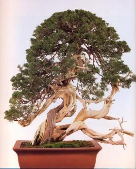 Sargent juniper - 500 anos - 80cm