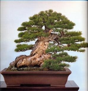 Japanese white pine - 350 anos - 60cm
