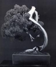 Sargent juniper - 350 anos - 70cm