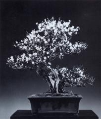 Japanese apricot - 130 anos - 80cm