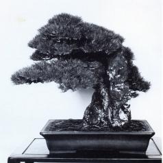 Japanese black pine - 130 anos - 63cm