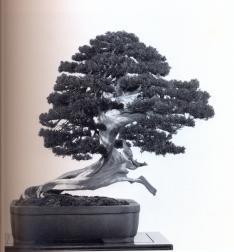 Sargent juniper - 400 anos 66cm