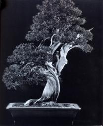 Sargent juniper - 200 anos - 71cm