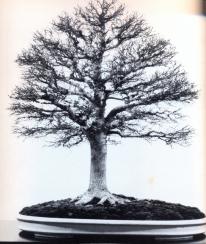 japanese Zelkova - 70 anos - 64cm