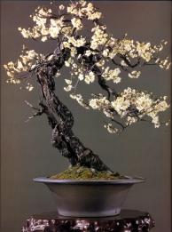 Japanese apricot - 120 anos - 66cm