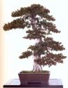 Japanese yew - 150 anos - 68cm