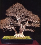 Japanese maple - 130 anos - 85cm