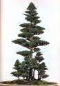 Cryptometria japonica - 50 anos - 70cm