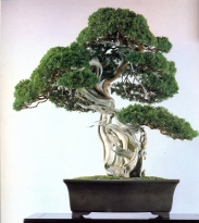 Sargent juniper - 300 anos - 83cm