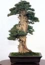 Needle juniper - 200 anos - 90cm