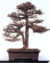 Japanese larch - 120 anos - 90cm