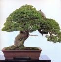 Japanese white pine - 500 anos - 90cm