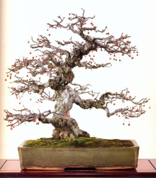 Japanese crab apple - 80 anos - 60cm